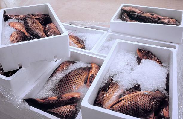 Poisson frais transporté dans des bacs réfrigérés pour respecter la chaîne du froid